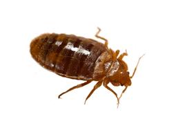 KPC_ContentThumb-Bedbug
