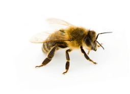KPC_ContentThumb-Bees