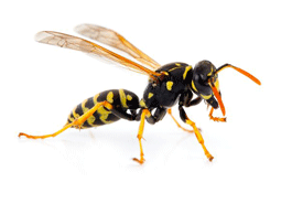 KPC_ContentThumb-Wasps